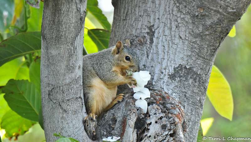 A male Fox Squirrel sitting in an avocado tree and eating a rose