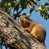 A Fox Squirrel