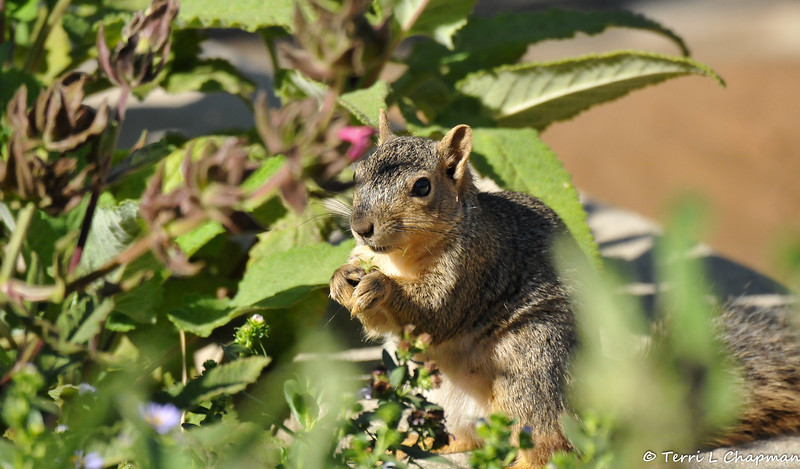 A Fox Squirrel snacking on garden vegetation