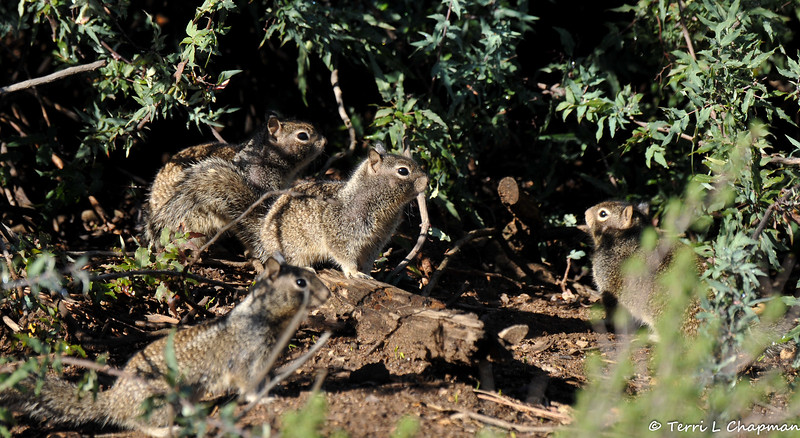 A family of Ground Squirrels