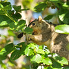 A female Fox Squirrel enjoying the bountiful ripe Mulberries on the Mulberry tree