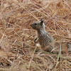 A baby Ground Squirrel