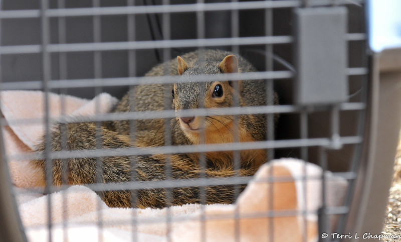 This is a female Fox Squirrel healed by the California Wildlife Center and this picture was taken right before she was released back into my yard. Isn't she beautiful???<br /> <br /> You see, around 11:00 pm on October 8, 2016 I rescued this juvenile female Fox Squirrel from the grip of two raccoons. The squirrel was injured and I was able to place her in a cat carrier overnight until I could transport her to the California Wildlife Center (CWC) the following morning. The squirrel had brain trauma, and was temporarily blind from its brain swelling, so the prognosis was guarded. But, I remained hopeful that the squirrel could heal with the constant care of the medical staff at CWC. Well, I got a phone call on November 11th that the young squirrel had made a full recovery and I picked her up and released her back into my yard!