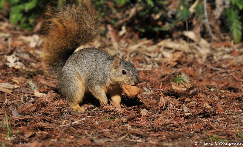 A female Fox Squirrel with a walnut