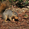 A female Fox Squirrel with a walnut