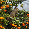 A Fox Squirrel in my Tangerine Tree