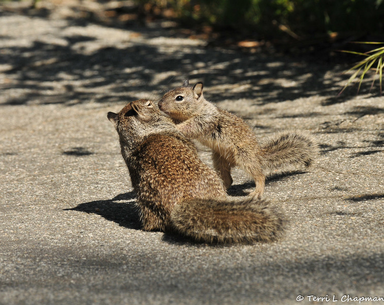 A baby Ground Squirrel gets a closer look at its mother