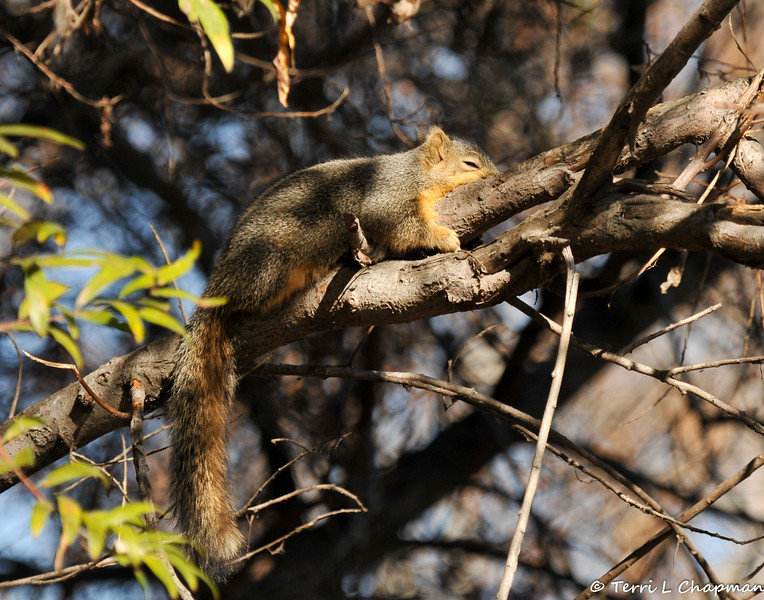 A sleeping Fox Squirrel