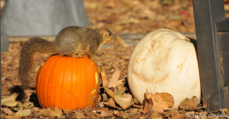 A female Fox Squirrel perched on a pumpkin that was part of Descanso Gardens' Autumn display.