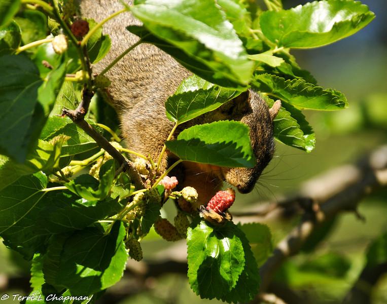 A Fox Squirrel enjoying Mulberries