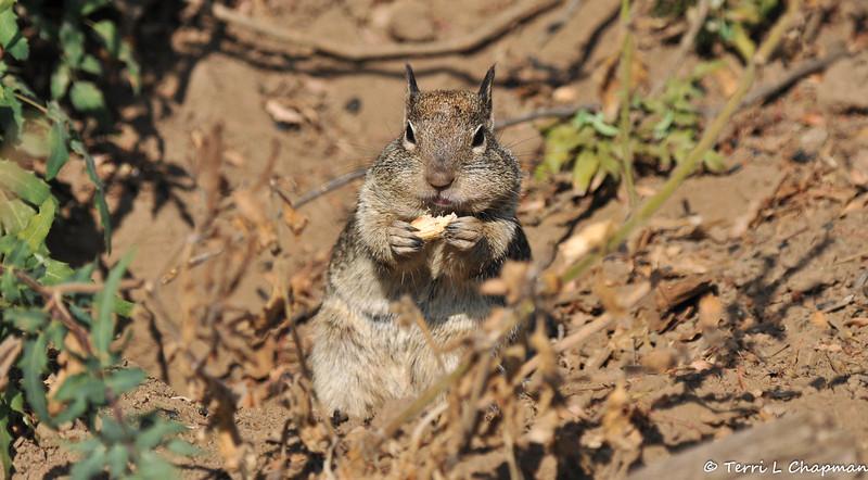 A Ground Squirrel enjoying a peanut