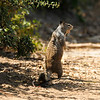 A mother Ground Squirrel sounding the alarm because a coyote was close by