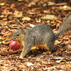 This Fox Squirrel was caught in the act of stealing an apple from the Nature's Table section of Descanso Gardens.