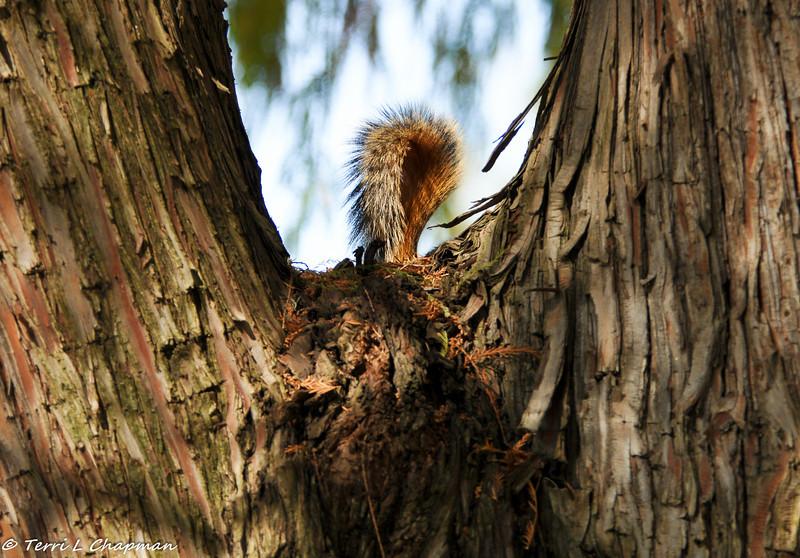 Fox Squirrel tail!