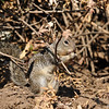 A Ground Squirrel eating a snack
