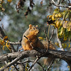 A Fox Squirrel posing in a park tree