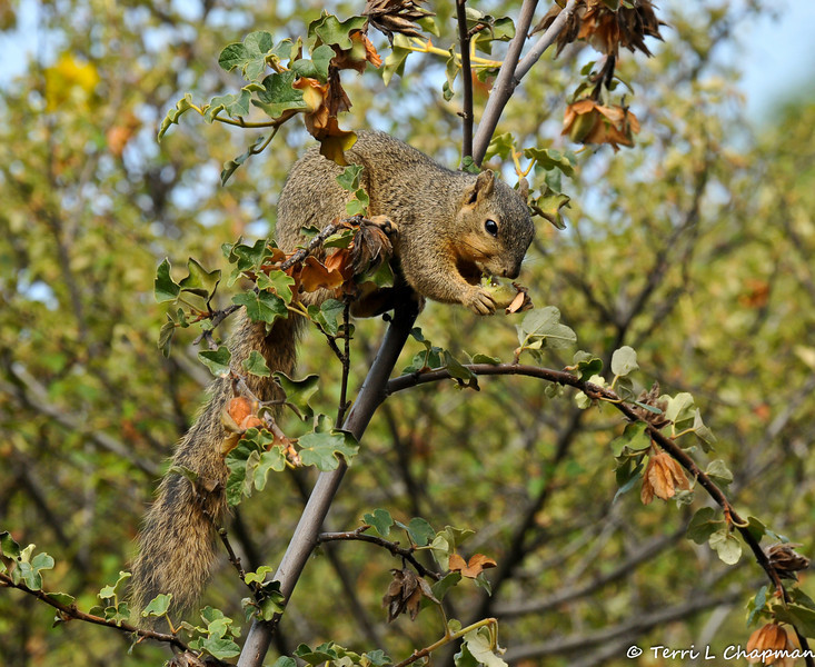 A Fox Squirrel eating the blooms off an Apricot Mallow bush.