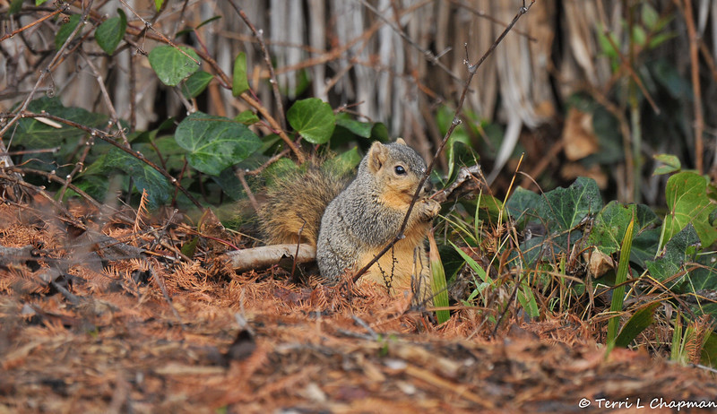 A Fox Squirrel having a snack