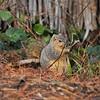 A Fox Squirrel having a snack