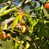 A Fox Squirrel caught in the act of picking an apple!