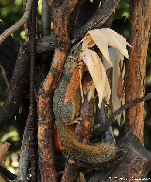 A female Fox Squirrel squeezing between the tree branches to get to the edible corn cob, which was part of the Autumn display at Descanso Gardens.