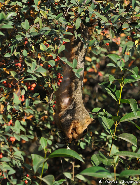 A female Fox Squirrel hanging upside down as she eats Cotoneaster berries
