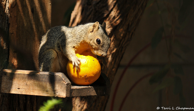 This juvenile Fox Squirrel had picked an orange from my tree, carried it up onto the feeder, and was eating away while I photographed her from my back door.