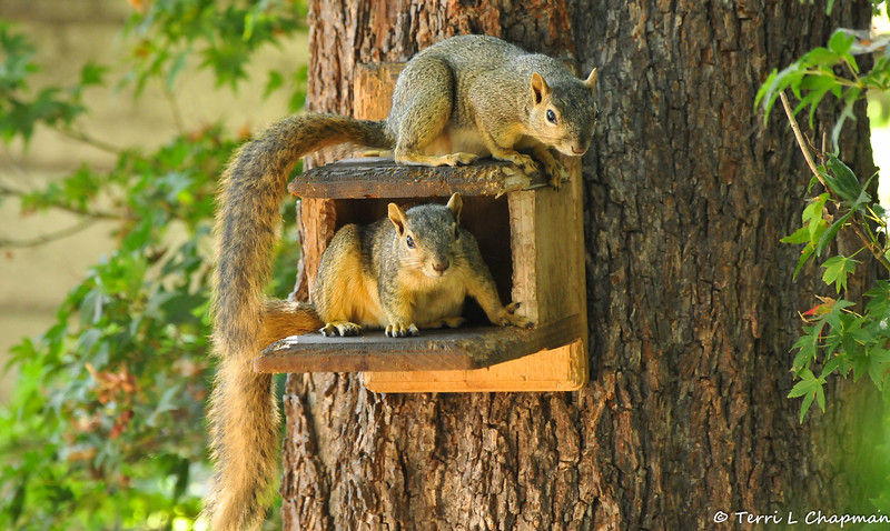 Two Fox Squirrels playing my munch box
