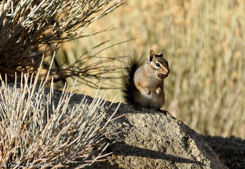 A Chipmunk in the Angeles National Forest. He found a treat! Although you can't tell by this picture, there was snow on the ground.
