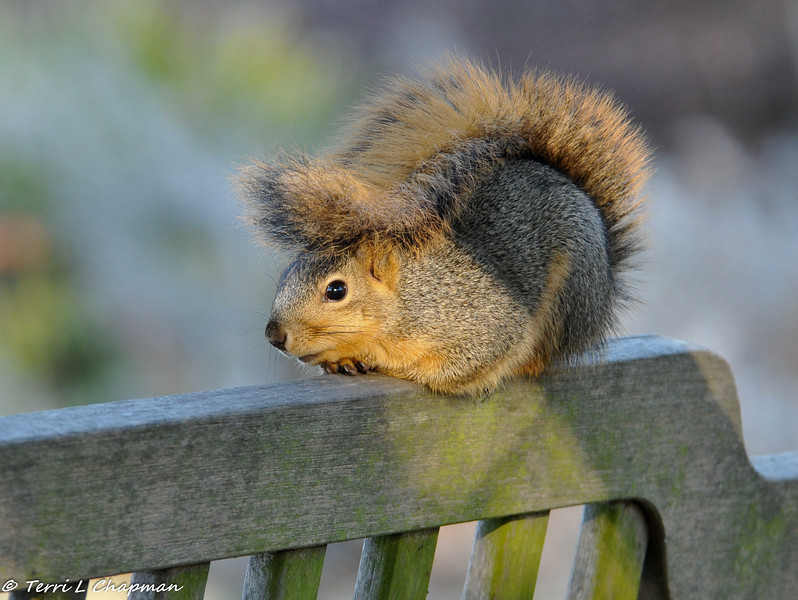 It was a very cold morning at Descanso Gardens and this Fox Squirrel decided he was going to rest on the bench, catch some sun, and have his tail provide an extra layer of warmth.