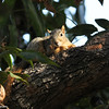 A Fox Squirrel hanging out in my pistachio tree