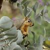 A Fox Squirrel peeking out from an Australia bush at the LA Arboretum