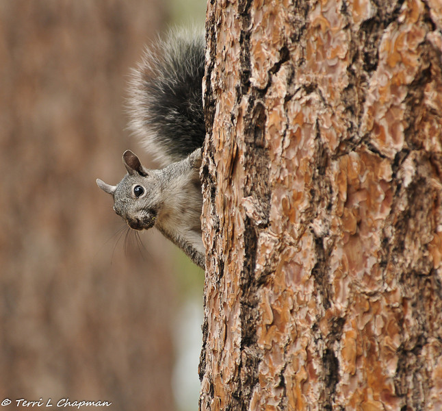A Grey Squirrel in the Angeles National Forest. He saw me and quickly ran up the tree.
