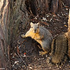 A Fox Squirrel at the LA Arboretum.