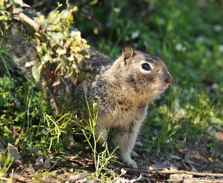 A Ground Squirrel emerging from its burrow