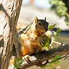 A Fox Squirrel enjoying a fig