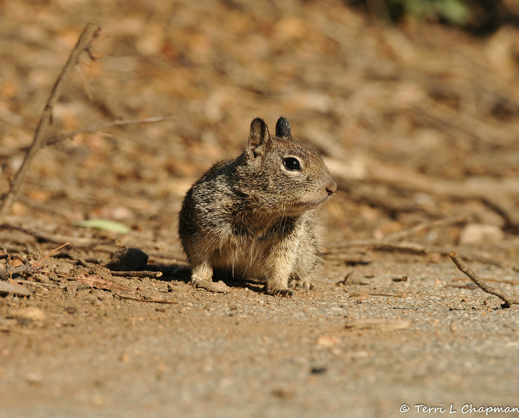 A young Ground Squirrel