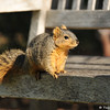 A Fox Squirrel making a temporary stop on a bench at Descanso Gardens