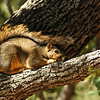 A Fox Squirrel sunning in an Engelmann Oak tree