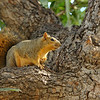 A Fox Squirrel hanging out in my Pecan tree