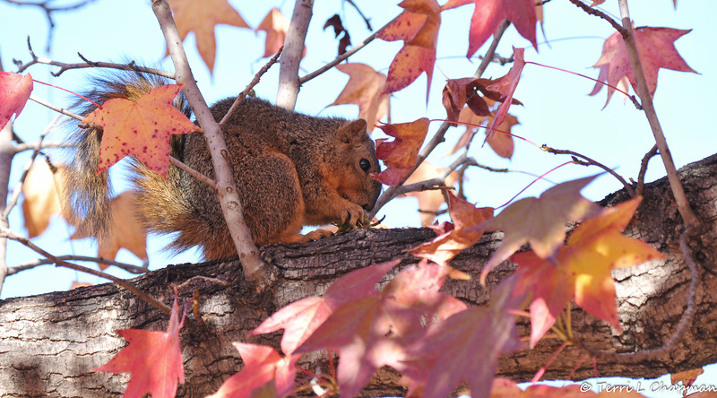 A Fox Squirrel eating a seed pod from a Sweet Gum Tree