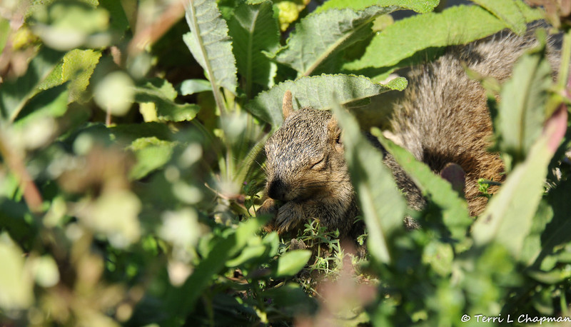 A Fox Squirrel snacking on garden vegetation (although it looks like it is praying!)