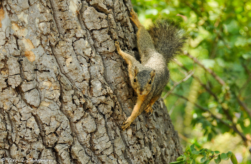 A curious Fox Squirrel coming to see what I am doing