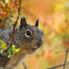 A Ground Squirrel with a Nevin's Barberry bush as a backdrop