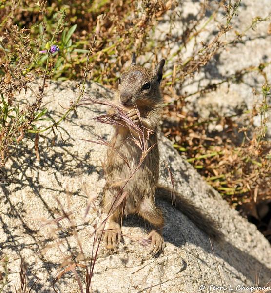 A baby Ground Squirrel