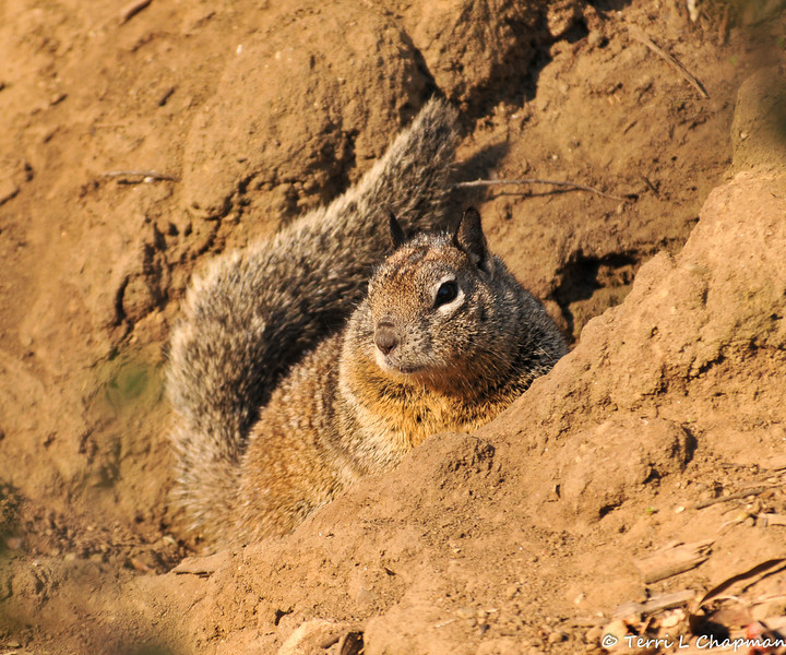A Ground Squirrel at the entrance to its burrow located on the side of a hill