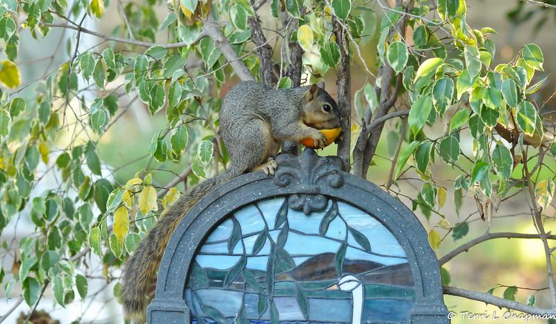 A Fox Squirrel using my water fountain as a perch to eat an orange