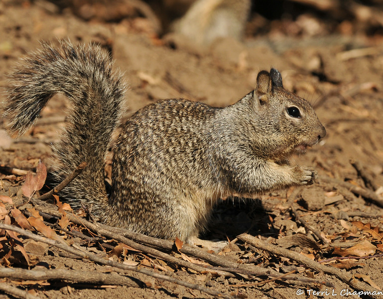 A Ground Squirrel eating a nut