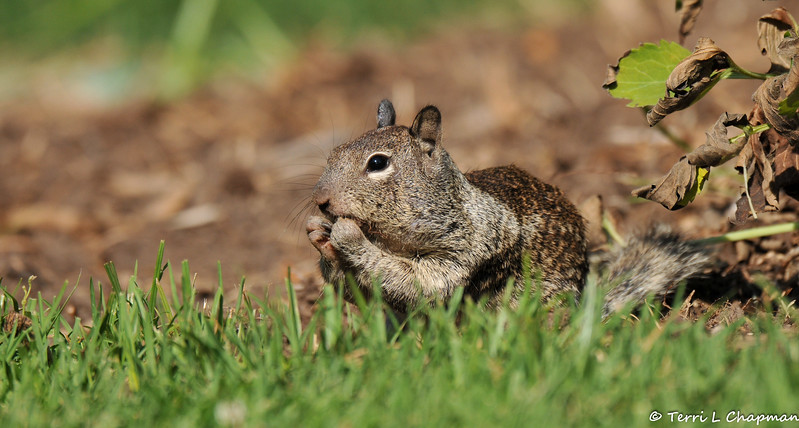A Ground Squirrel eating some seeds it found on the ground