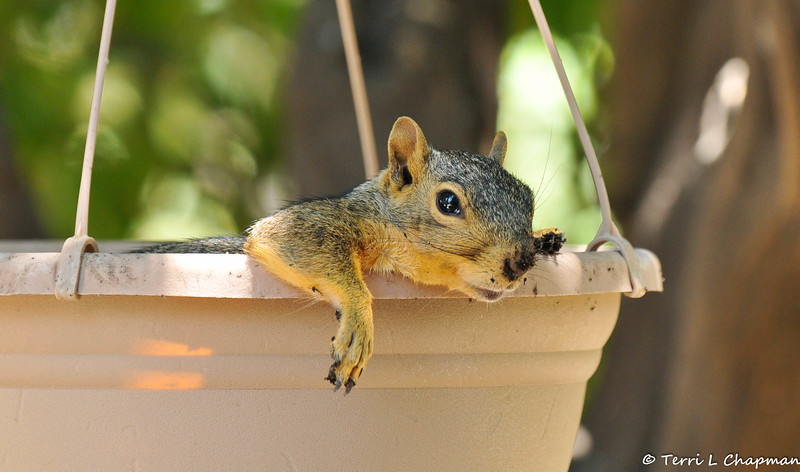 On a very hot summer day the best place for a backyard Fox Squirrel to cool off is in a wet, dirt filled, hanging basket.